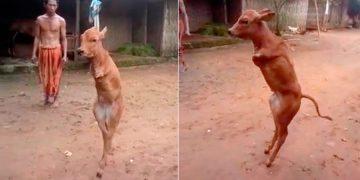 Больной телёнок ходит как человек. Он родился без передних ног, и научился ходить на задних