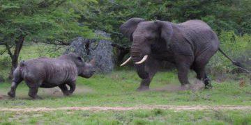 Неравная битва носорога против слона, снятая на камеру