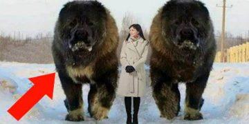 10 самых дорогих пород собак в мире