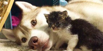 Они подобрали чуть живого котенка и принесли его домой. Реакция хаски поразила всех!