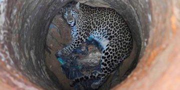 Леопард упал в пересохший колодец. Но самое интересное — как его оттуда доставали (Видео)