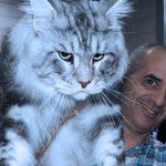 Мейн-куны: 20 фото самых здоровенных и очень дружелюбных домашних кошек
